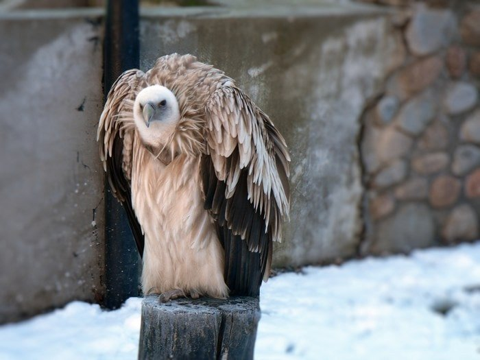 Endangered animals in Altai - snow vulture