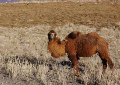 camels in Altai