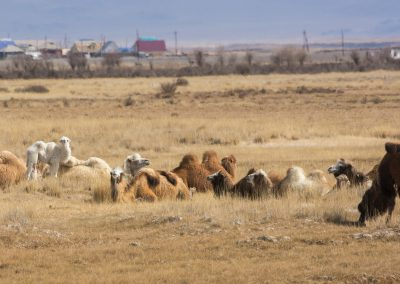 Camels near the road in Altai