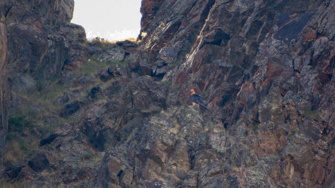 bearded vulture on the rock