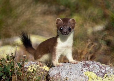 The stoat