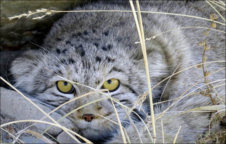 The Pallas cat or Manul
