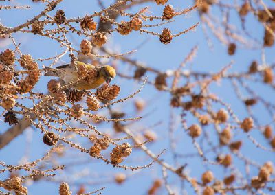 small bird in the larch
