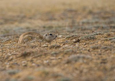 Camouflage of ground squirrel