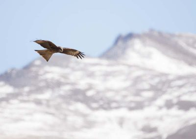 Raptor flying in the mountains