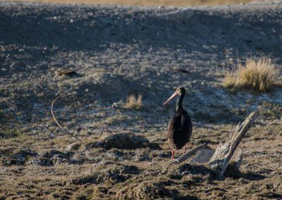 Black stork in the village