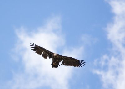 Black vulture in the sky