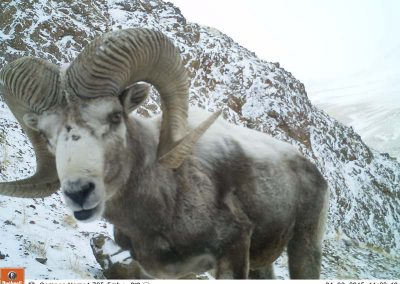 Mountain sheep in the trail cam
