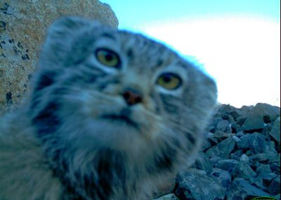 manul cat looking into the trail camera