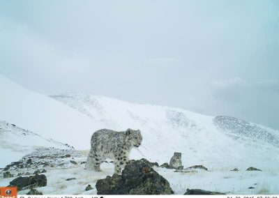 2 snow leopards, picture drom the wild camera