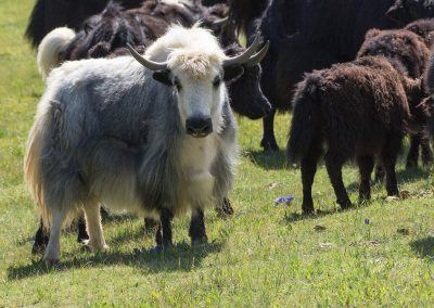 Yaks in Altai mountains