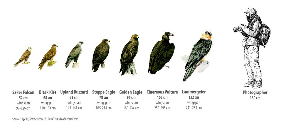 Which birds of prey can you meet in Altai? Part 1. Eagles