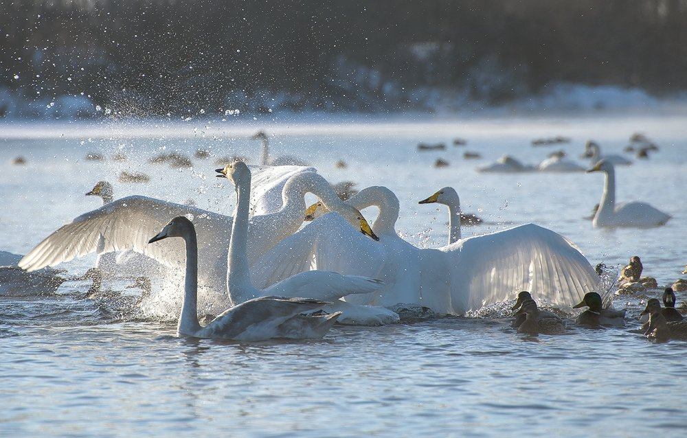 Stray swan has found new home in wildlife in Altai