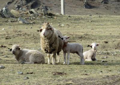 Altai sheep