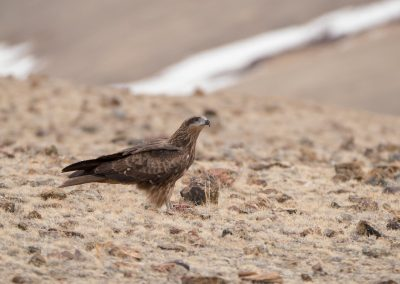 Black kite Altai