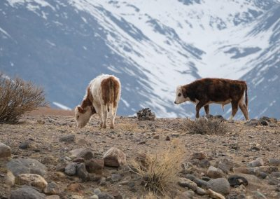 Cows in Altai mountains