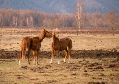 Horses in Altai
