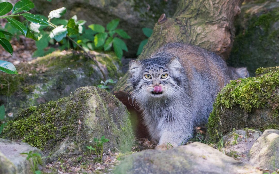 A great day to announce our newest project: international manul or pallascat day